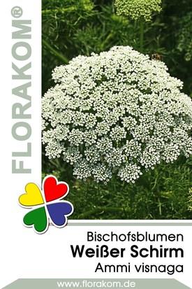 Bischofsblumen Weißer Schirm