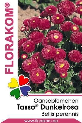 Gänseblümchen Tasso® Dunkelrosa