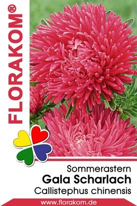 Sommerastern Gala Scharlach