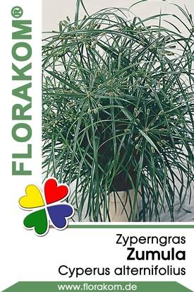 Zyperngras Zumula - Cyperus