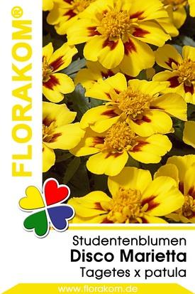 Studentenblumen Disco Marietta
