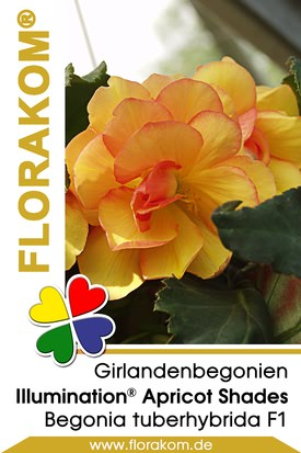 Girlandenbegonien Illumination® Apricot Shades