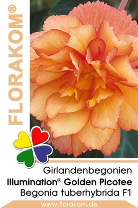 Girlandenbegonien Illumination® Golden Picotee