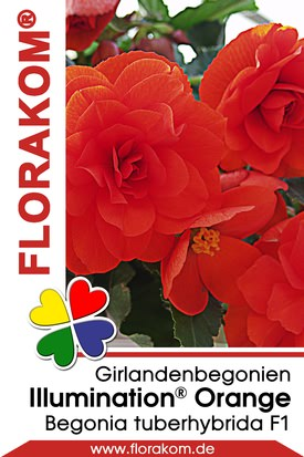 Girlandenbegonien Illumination® Orange Samen