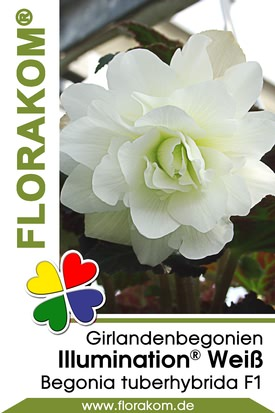 Girlandenbegonien Illumination® Weiß