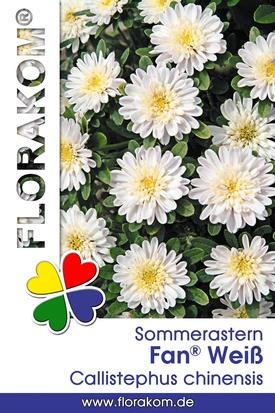 Sommerastern Fan® Weiß Samen