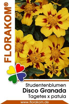 Studentenblumen Disco Granada