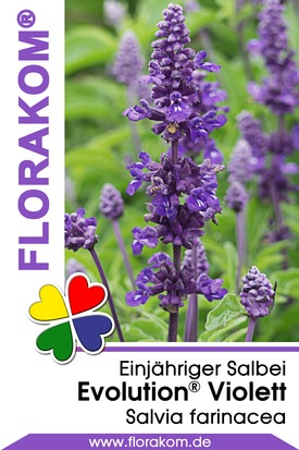 Salvien Evolution® Violett - Salvia