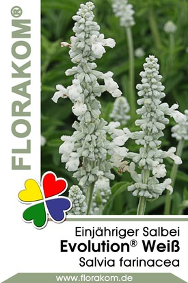 Salvien Evolution® Weiß - Salvia