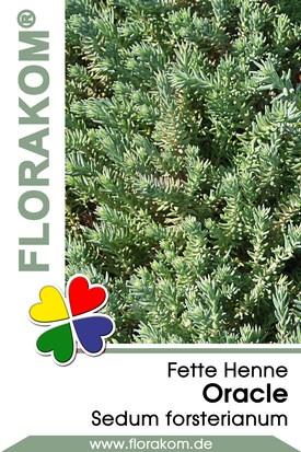 Fette Henne Oracle - Sedum
