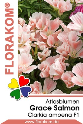 Atlasblumen Grace Salmon
