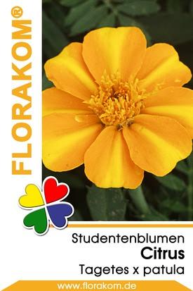 Studentenblumen Citrus