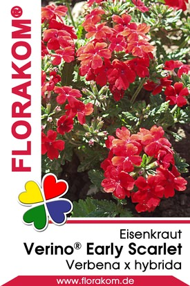 Eisenkraut Verino® Early Scarlet - Verbenen