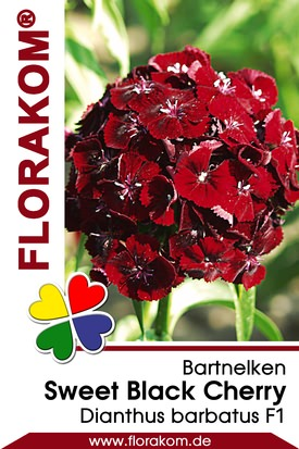 Bartnelken Sweet Black Cherry