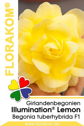 Girlandenbegonien Illumination® Lemon