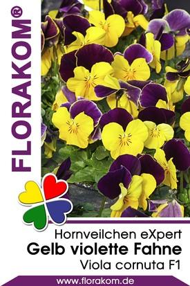 Hornveilchen eXpert Gelb mit violetter Fahne
