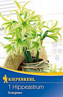 Amaryllis Evergreen - Ritterstern