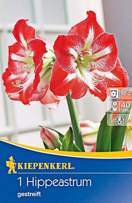 Amaryllis Rot - Weiß gestreift - Ritterstern