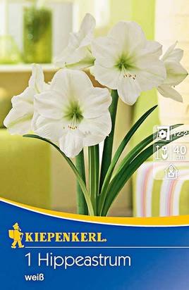 Amaryllis Weiß - Ritterstern