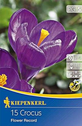 Großblumige Krokusse Flower Record Purpurviolett
