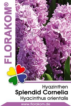 Hyazinthen Splendid Cornelia