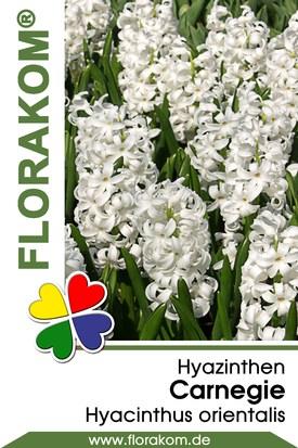 Hyazinthen Carnegie
