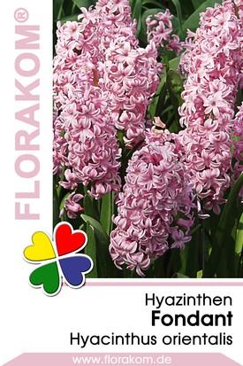 Hyazinthen Fondant