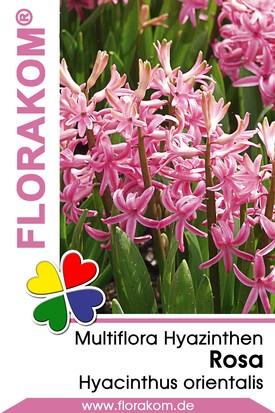 Multiflora Hyazinthen Rosa