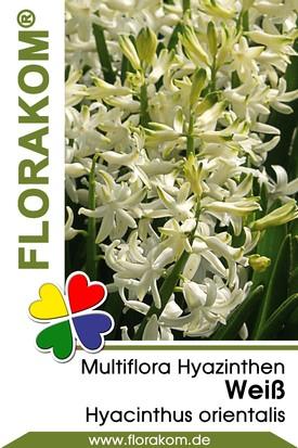 Multiflora Hyazinthen Weiß