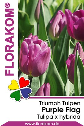 Triumph Tulpen Purple Flag