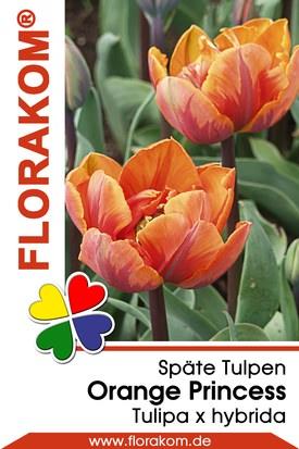 Späte Gefüllte Tulpen Orange Princess