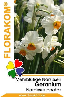 Mehrblütige Poetaz Narzissen Geranium