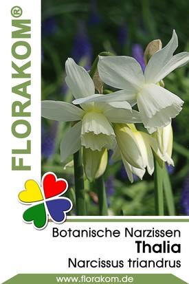 Botanische Narzissen Thalia