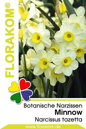 Mehrblütige Botanische Narzissen Minnow