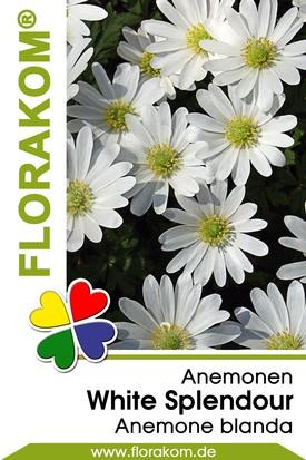 Anemonen blanda White Splendour