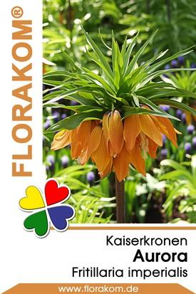 Kaiserkronen Aurora orange