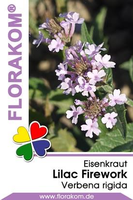 Eisenkraut Lilac Firework - Verbenen