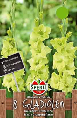 Holländische Großblumige Gladiolen Green Star
