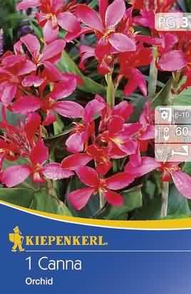 Zwergcanna Orchid
