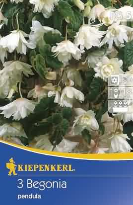 Weiße Ampelbegonien Pendula