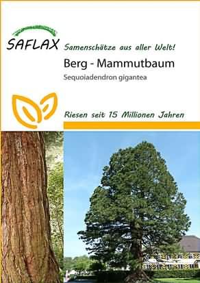 Berg Mammutbaum Samen