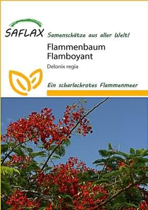 Flammenbaum Flamboyant Samen