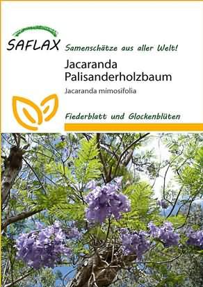 Jacaranda Palisanderholzbaum Samen