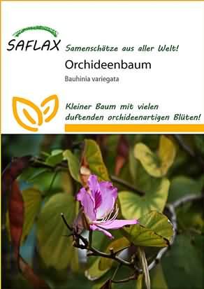 Orchideenbaum Samen