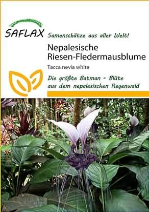 Nepalesische Riesen Fledermausblume