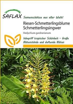 Riesen Schmetterlingsblume