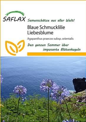Blaue Schmucklilien Liebesblume