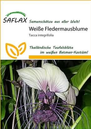 Weiße Fledermausblume