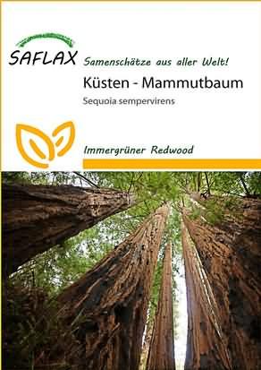 Küsten Mammutbaum Samen