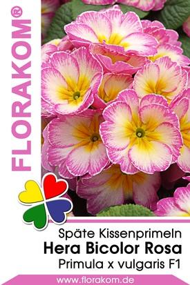 Späte Kissenprimel Hera Bicolor Rosa